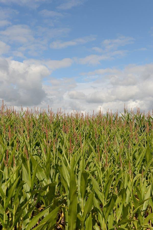 Cornfield in platteland royalty-vrije stock foto