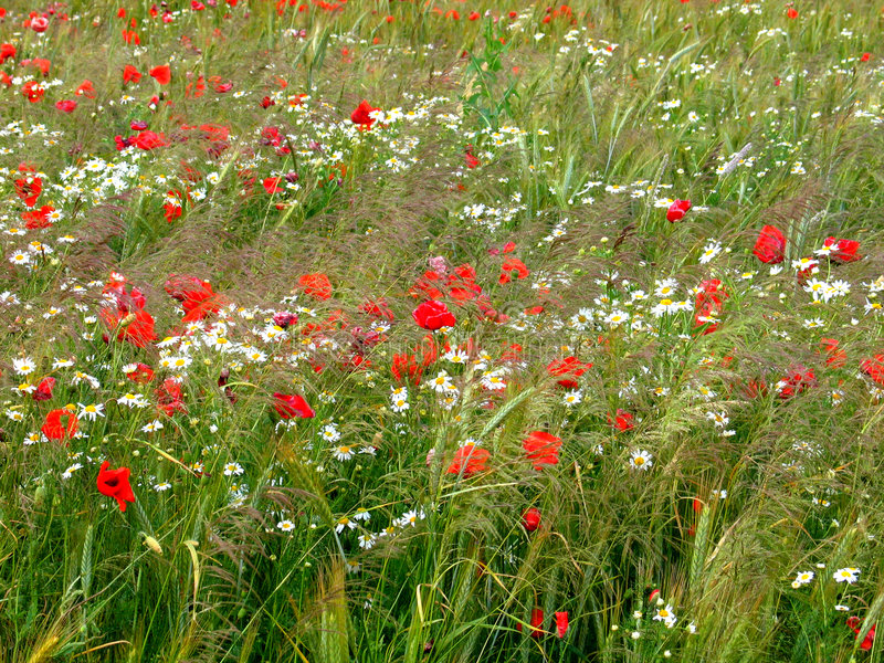 Cornfield with poppies stock photography
