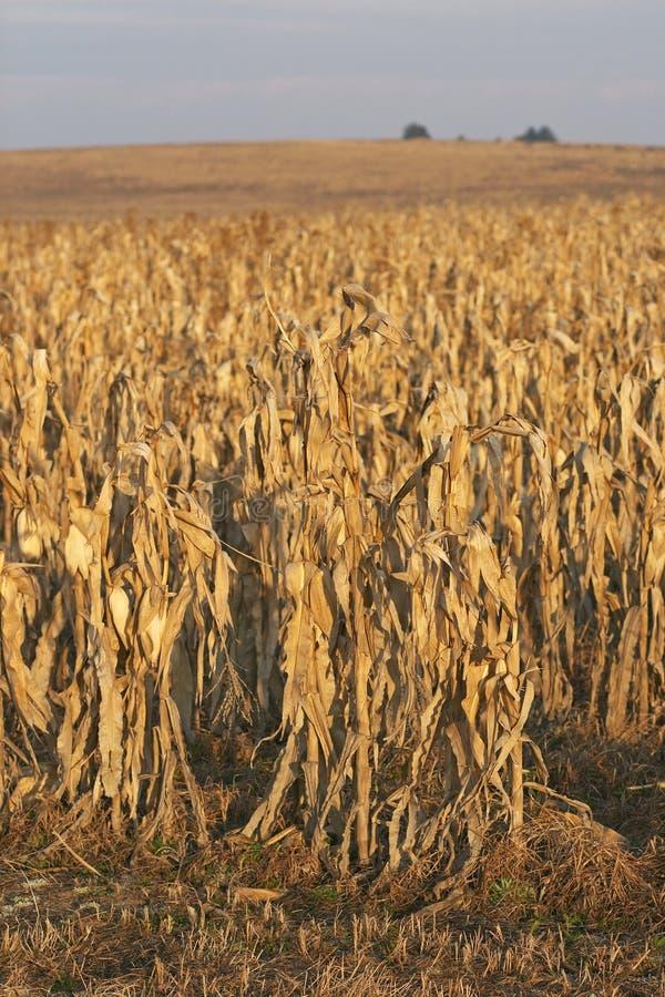 Cornfield redy voor oogst bij zonsopgang royalty-vrije stock foto's