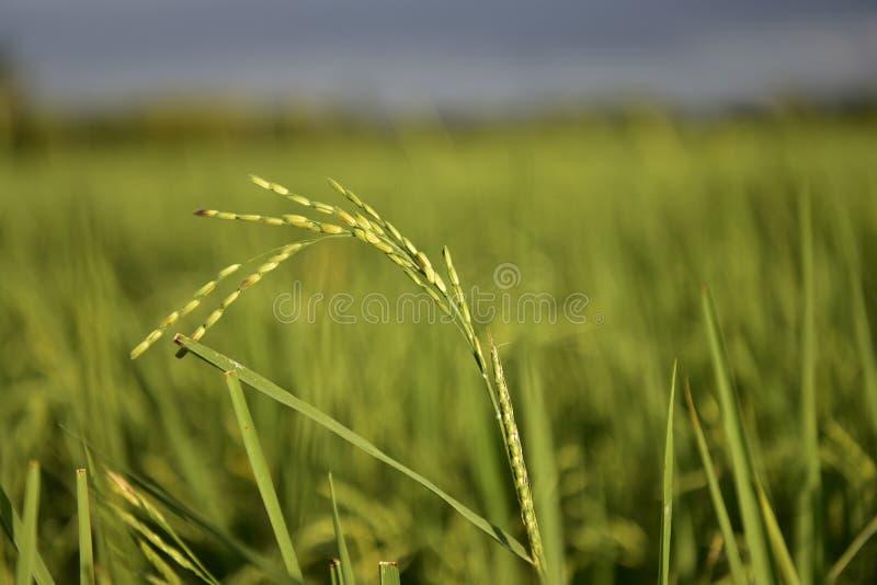 Cornfield, rizières et feuilles de riz vert photo libre de droits