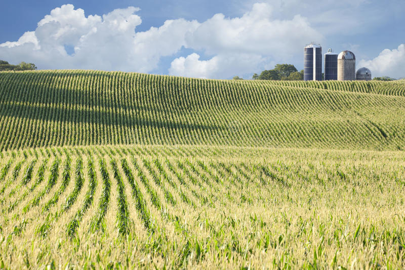 Cornfield and silos on sunny day with clouds royalty free stock photos