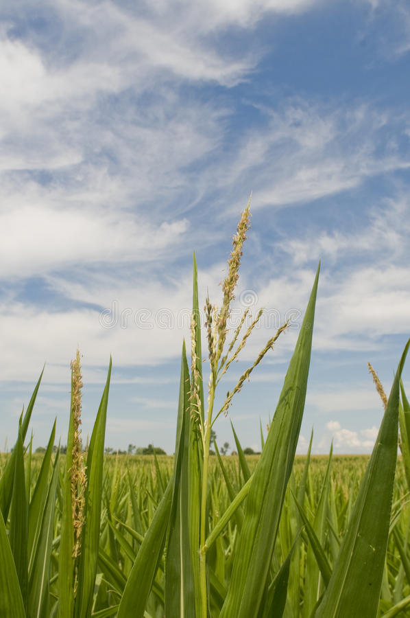 Cornfield on sky blue sky stock image