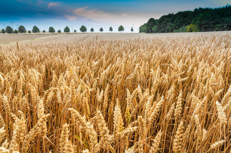 Download Cornfield stock image. Image of farming, crop, cereal - 32648287