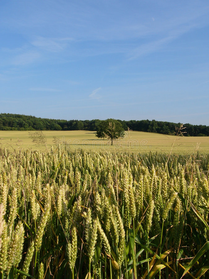 Cornfield2 royalty free stock photos