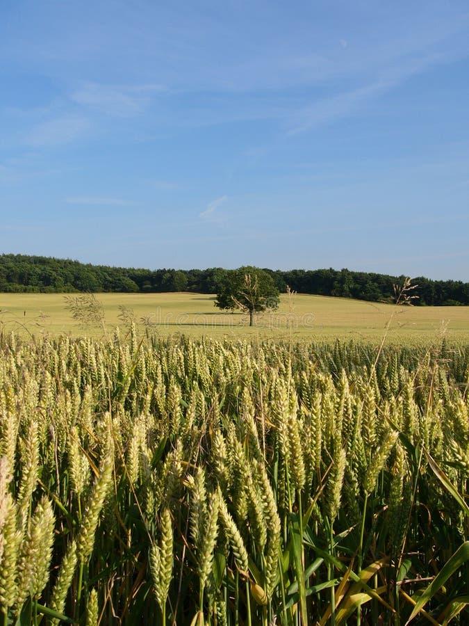 cornfield2 стоковые фотографии rf