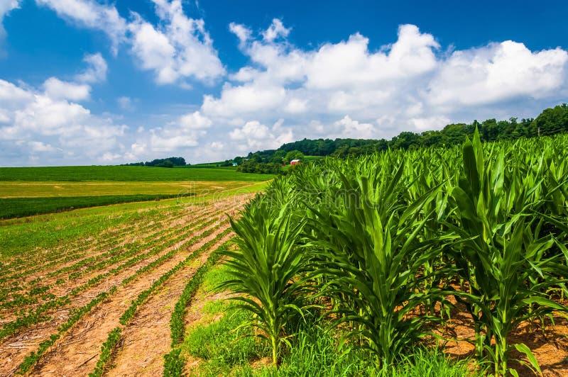 Cornfields på en lantgård i lantliga sydliga York County, PA royaltyfri foto