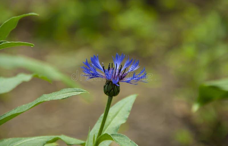 Cornflower στον κήπο στοκ εικόνες με δικαίωμα ελεύθερης χρήσης