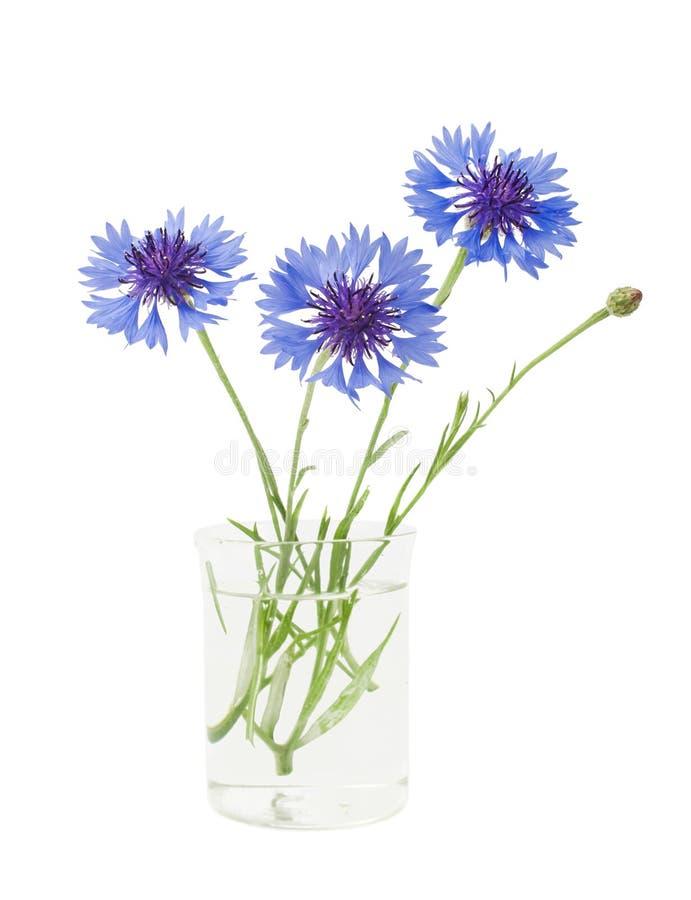 Cornflower στο βάζο στοκ εικόνες