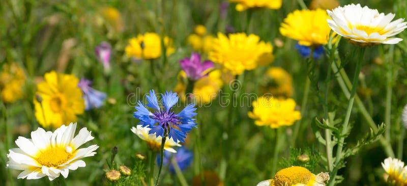Cornflower и маргаритки стоковое изображение