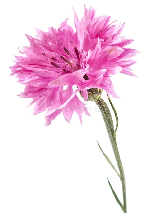 Розовый Cornflower стоковые фотографии rf