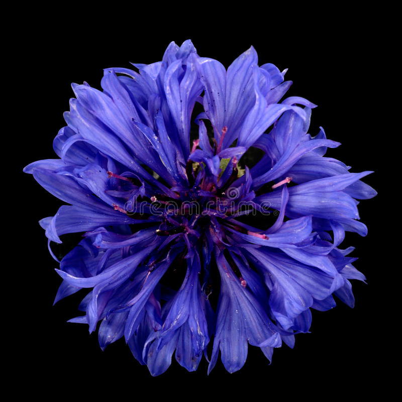 Cornflower immagini stock