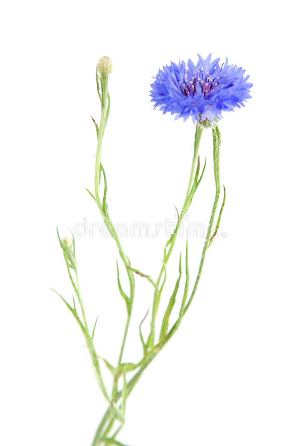 Free Cornflower Royalty Free Stock Photo - 10180725