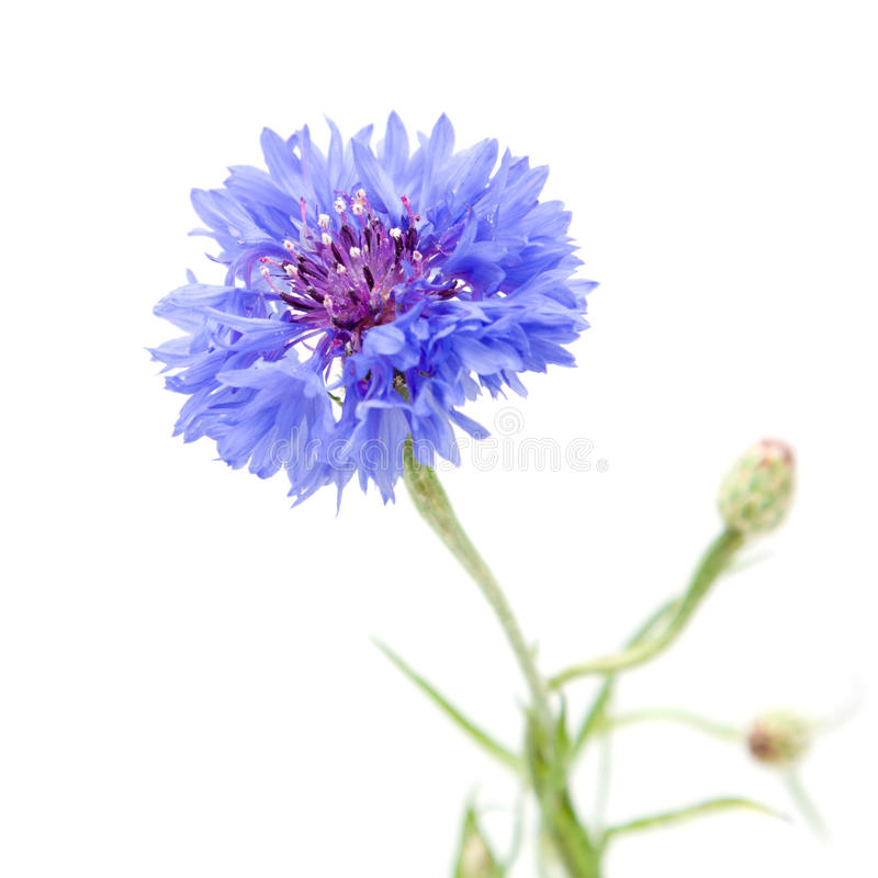 cornflower στοκ φωτογραφία