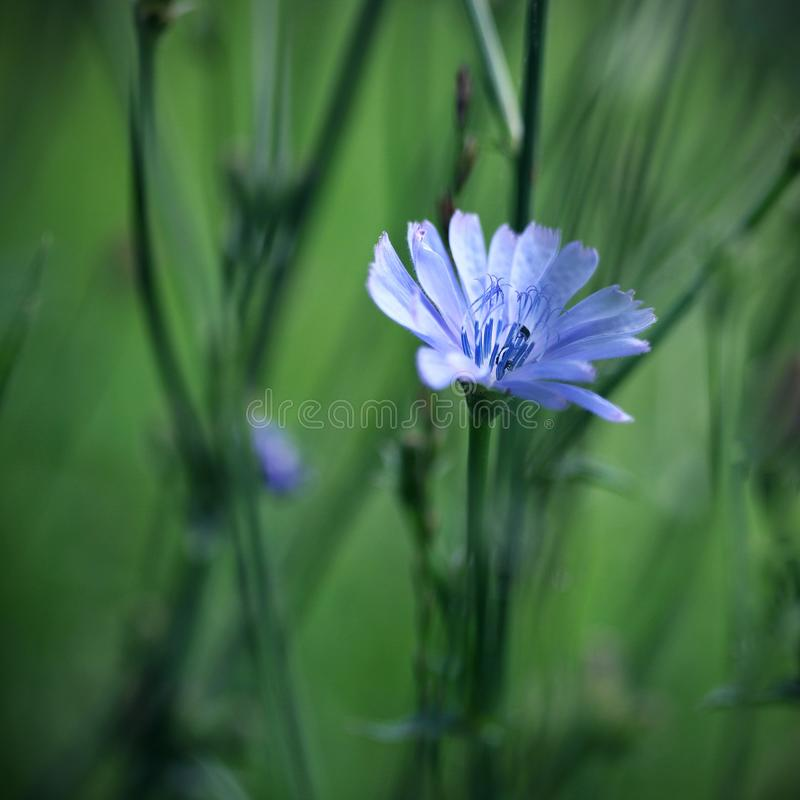 Cornflower photographie stock