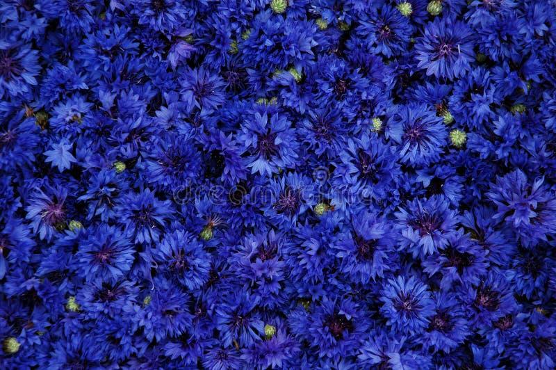 cornflower immagine stock