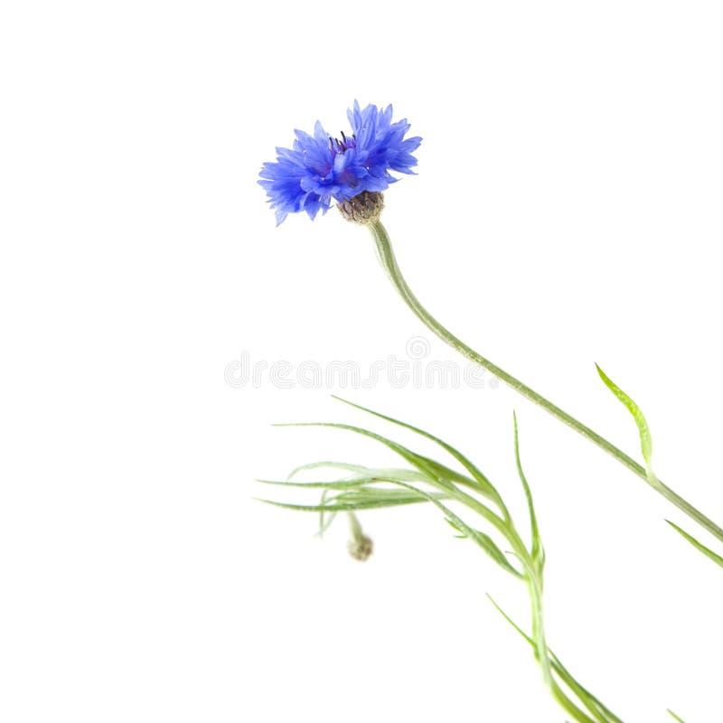 Cornflower imagens de stock