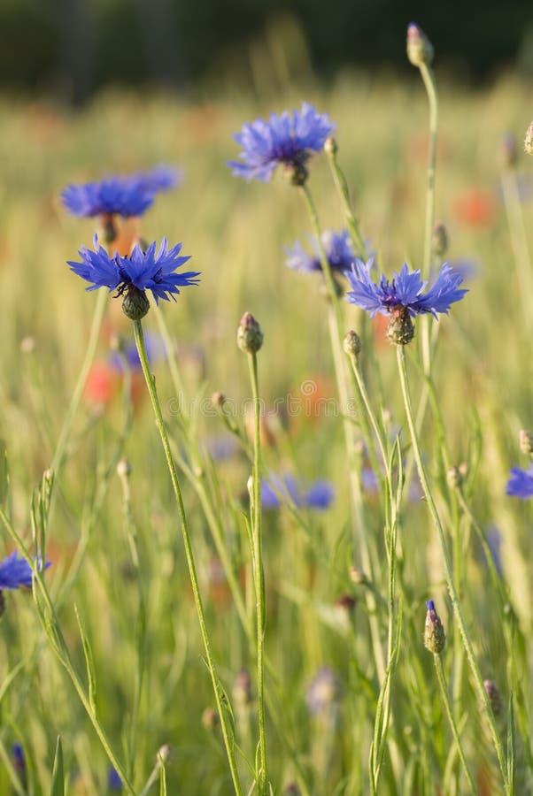 cornflower στοκ φωτογραφίες με δικαίωμα ελεύθερης χρήσης