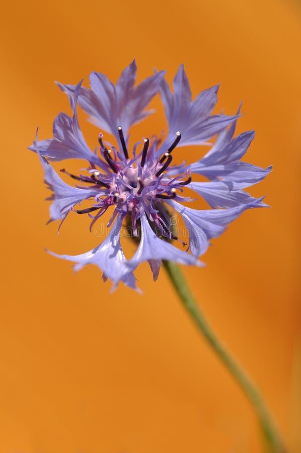 Cornflower immagini stock libere da diritti