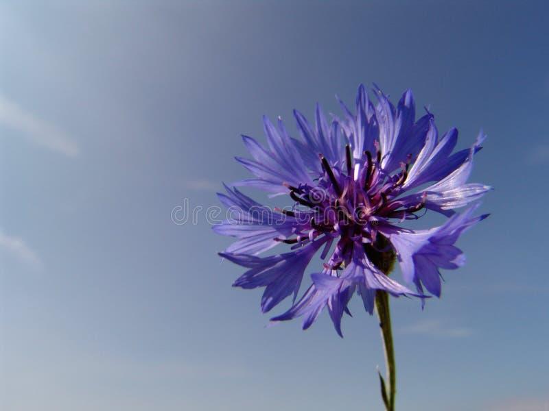 cornflower fotos de stock royalty free