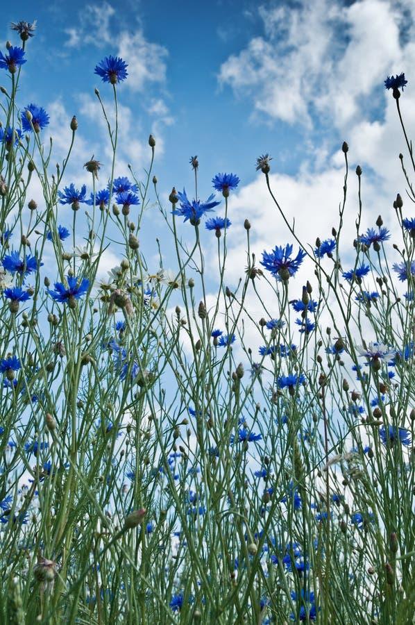 Cornflower fotografia stock