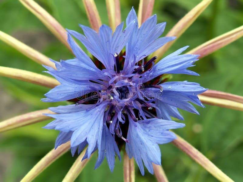 Download Cornflower imagen de archivo. Imagen de salvaje, azul, cornflower - 193285