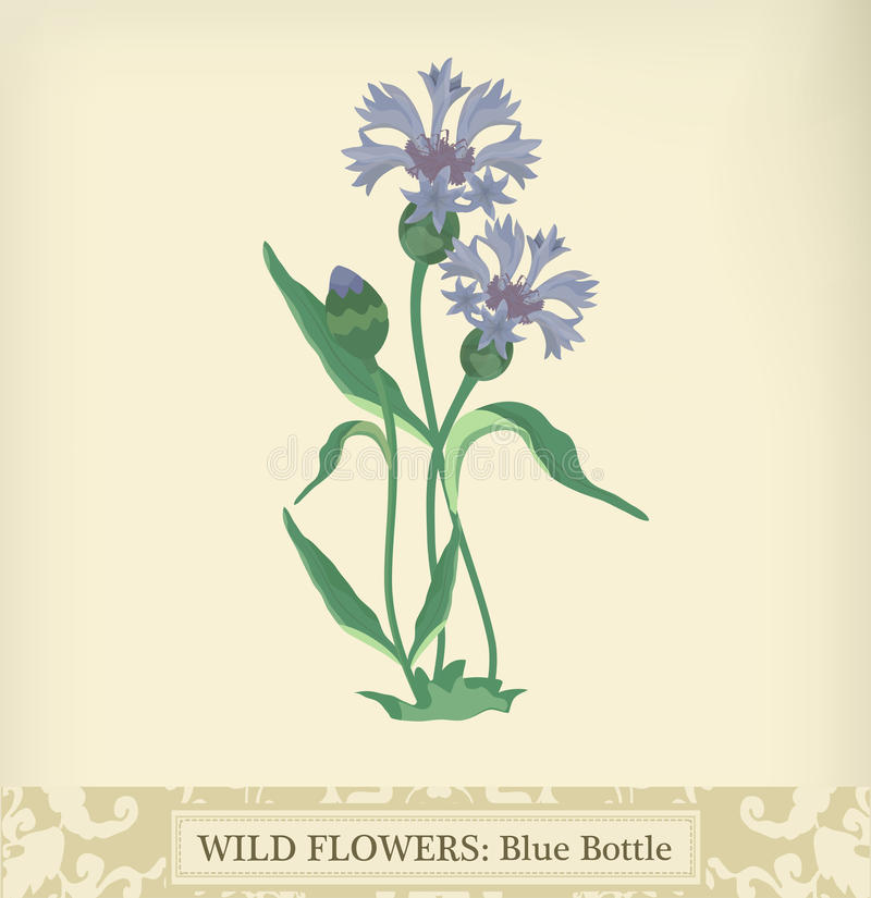 Cornflower vector illustration