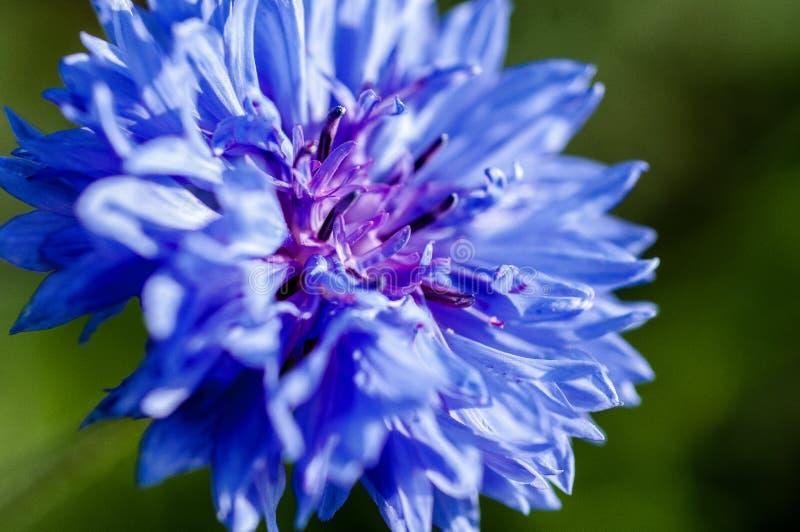 Cornflower стоковое изображение rf