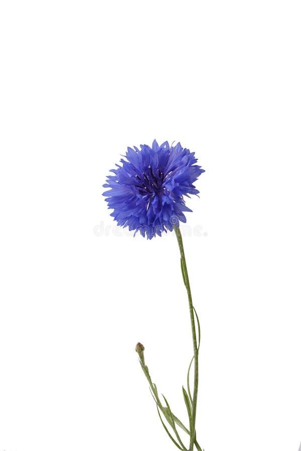 Cornflower fotografia stock libera da diritti