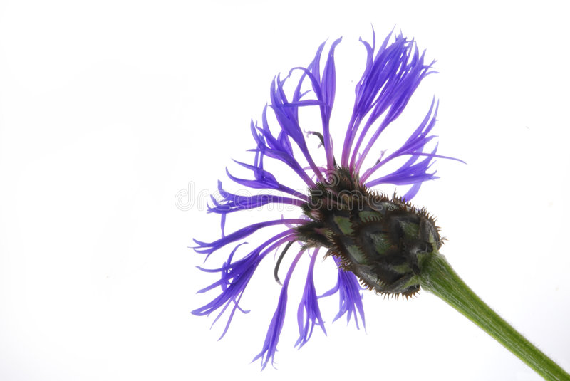 Cornflower   stockfotografie
