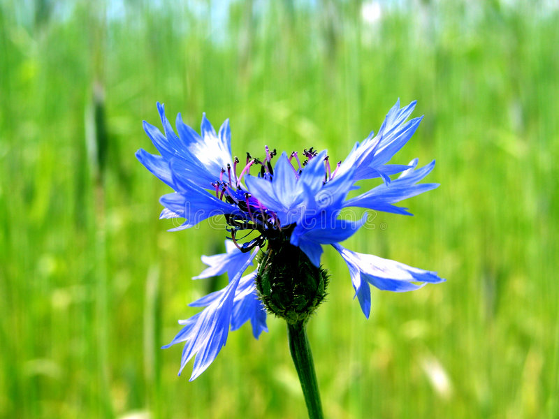 Download Cornflower image stock. Image du moisson, maïs, été, ferme - 90667