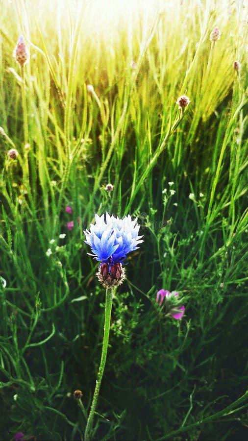 cornflower fotografie stock libere da diritti