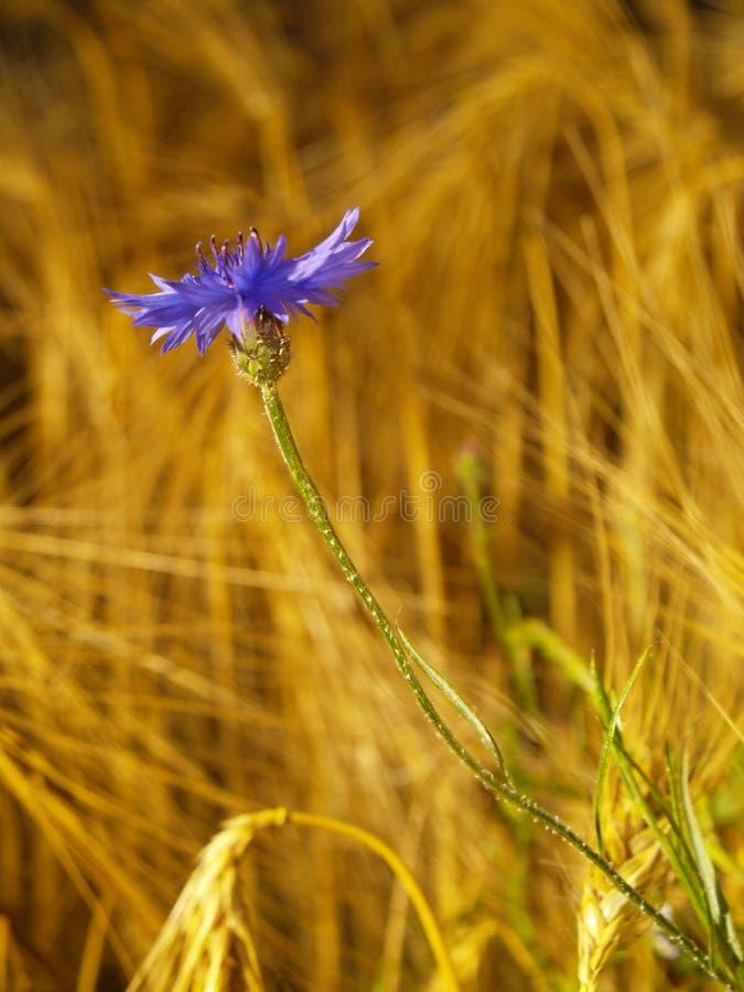 Cornflower auf dem Gerstengebiet stockfotografie