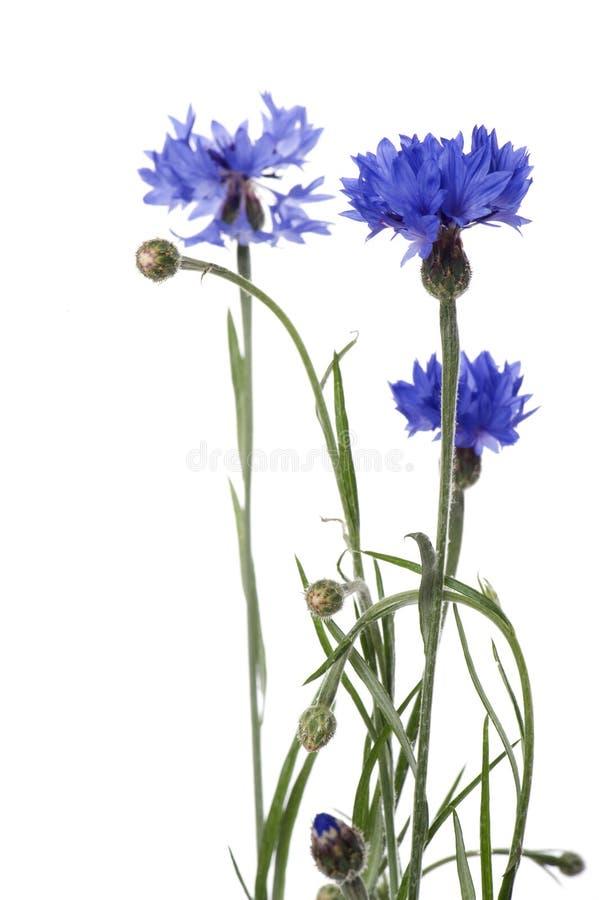 Cornflower azul no fundo branco imagens de stock royalty free