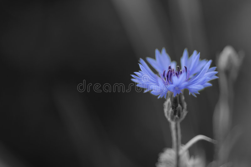 Cornflower In Black And White Stock Photo