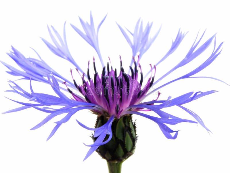 Cornflower blu fotografie stock