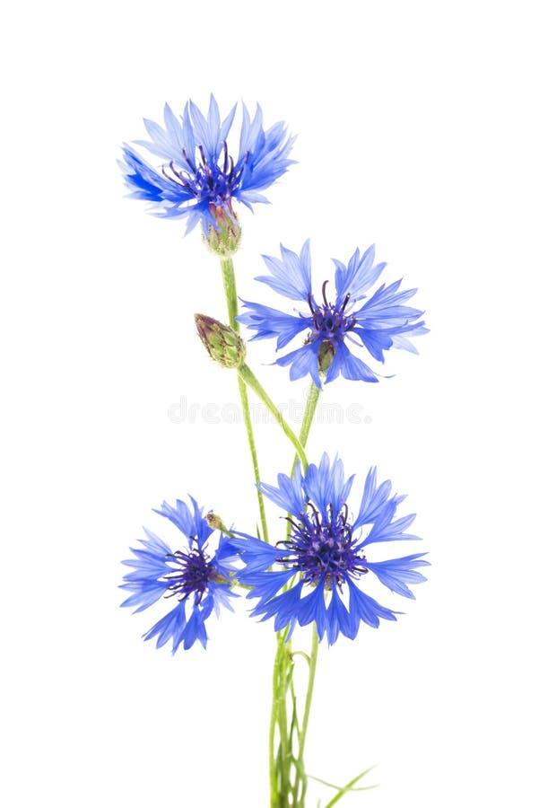 cornflower Boeket van wilde blauwe bloemen stock fotografie