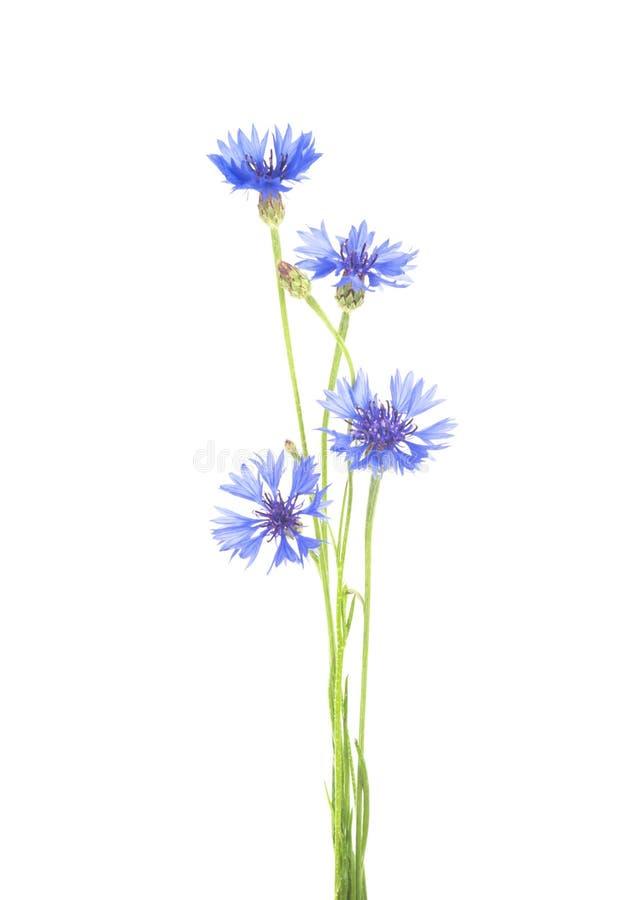 cornflower Boeket van wilde blauwe bloemen royalty-vrije stock foto