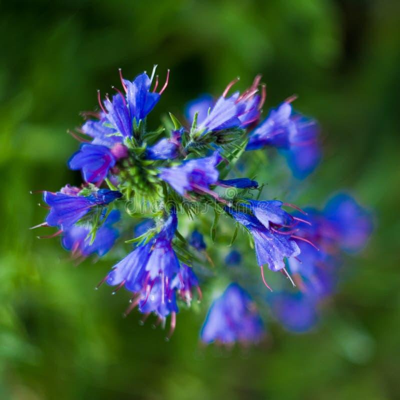Azul do Cornflower imagens de stock
