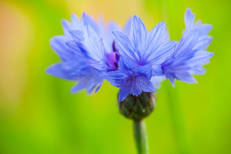 cornflower Centaurea cyanus Fiore blu immagini stock libere da diritti