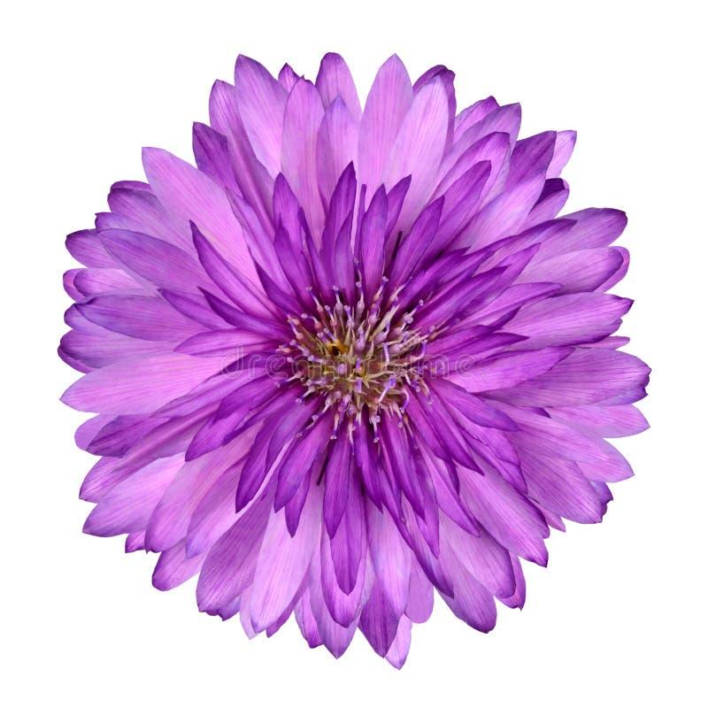 Cornflower como a flor roxa cor-de-rosa isolada imagem de stock royalty free
