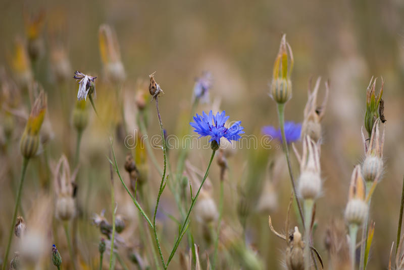Cornflower & x28; Cyanus& x29 василёка; цветок и seedheads стоковая фотография