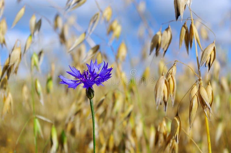 Cornflower em um campo. imagem de stock