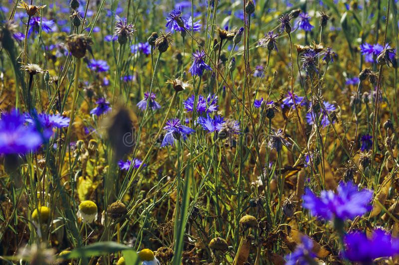 Cornflower field stock image