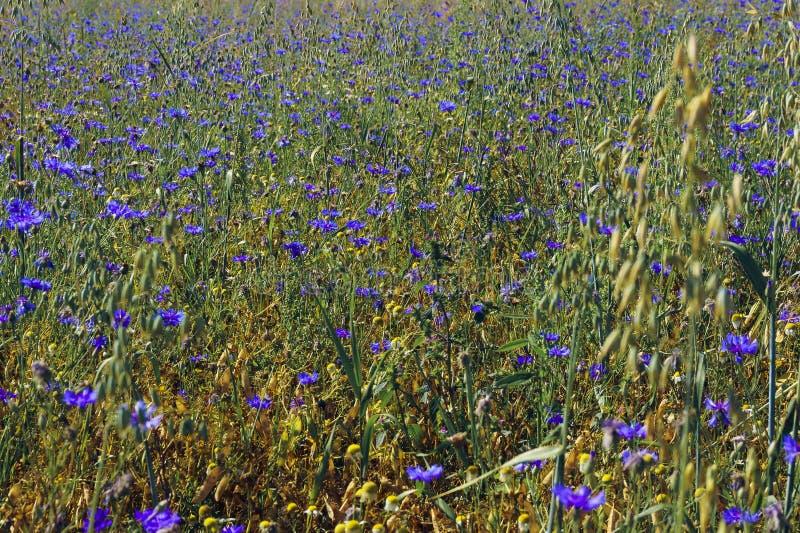 Cornflower field stock photography