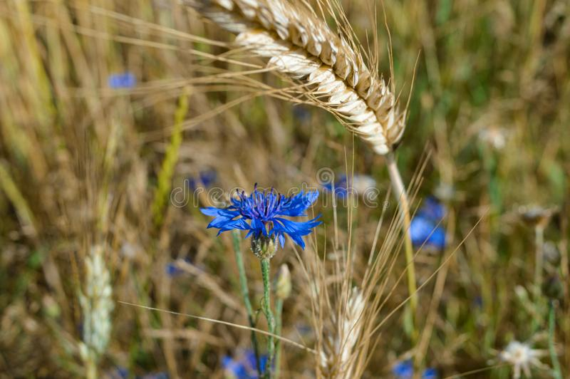 Cornflower in field stock images