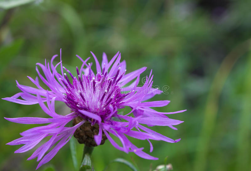 Cornflower grungy (scabiosa василёка) стоковые изображения