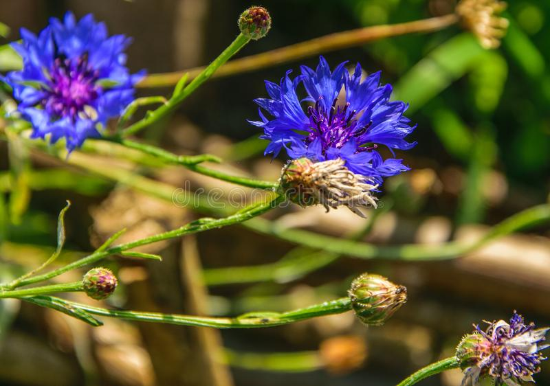 Cornflower, knapweed Centaurea scabiosa or greater knapweed blue flower growing in the field. Close up, selective focus stock photo