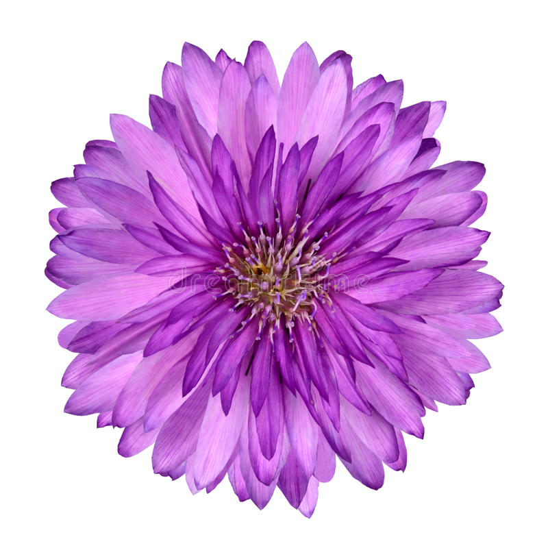 Download Cornflower Like Pink Purple Flower Isolated Stock Photo - Image of button, cutout: 22465396