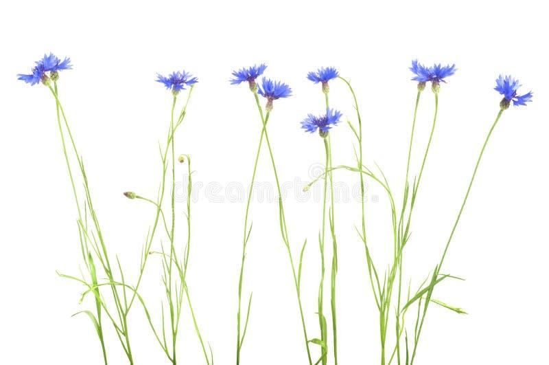 cornflower Mazzo dei fiori blu selvaggi immagine stock