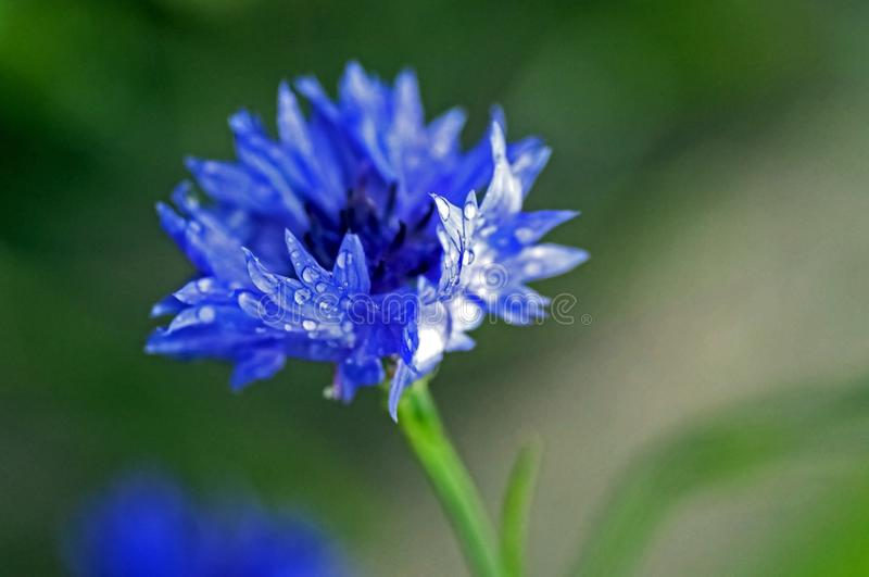 Cornflower with raindrops on the petals, soft focus royalty free stock images